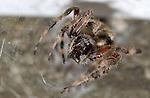 Orbweaver Spider with Prey, Spotted Orbweaver female, Hentz Orbweaver, Southern California