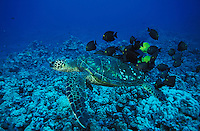 mx34. Green Sea Turtle (Chelonia mydas) and cleaner fish. Hawaii, USA, Pacific Ocean..Photo Copyright © Brandon Cole. All rights reserved worldwide.  www.brandoncole.com..This photo is NOT free. It is NOT in the public domain. This photo is a Copyrighted Work, registered with the US Copyright Office. .Rights to reproduction of photograph granted only upon payment in full of agreed upon licensing fee. Any use of this photo prior to such payment is an infringement of copyright and punishable by fines up to  $150,000 USD...Brandon Cole.MARINE PHOTOGRAPHY.http://www.brandoncole.com.email: brandoncole@msn.com.4917 N. Boeing Rd..Spokane Valley, WA  99206  USA.tel: 509-535-3489