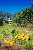 Récolte de Pomélos à La Foa, Nouvelle-Calédonie