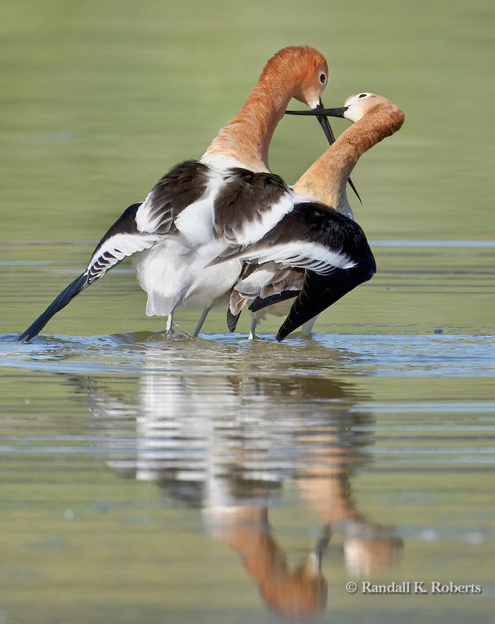 An American Avocet pair (Recurvirostra americana) crosses beaks after mating in a small pond in Thornton, Colorado