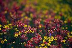 California wildflowers blooming in the spring