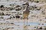 Beach Stone Curlew, Montgomery Reef, Kimberley Coast, Australia
