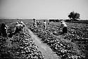 Turquie 1998.Des saisonniers kurdes ramassent des légumes dans la région d'Izmir..Turkey 1998.Near Izmir, Kurdish seasonal workers picking up vegetables