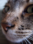 a macro head shot of a tabby cat, close up on nose