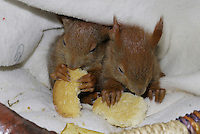 Eichhörnchen, Europäisches Eichhörnchen, verwaiste Jungtiere, Junge werden von Hand aufgezogen, Wildtier-Aufzucht, fressen Zwieback, Tierbaby, Tierbabies, Sciurus vulgaris, European red squirrel, Eurasian red squirrel