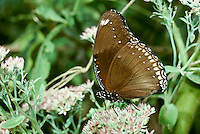 Kallima Inachus butterfly also called the  Dead leaf butterfly because of its camouflage to appear as dead leaves