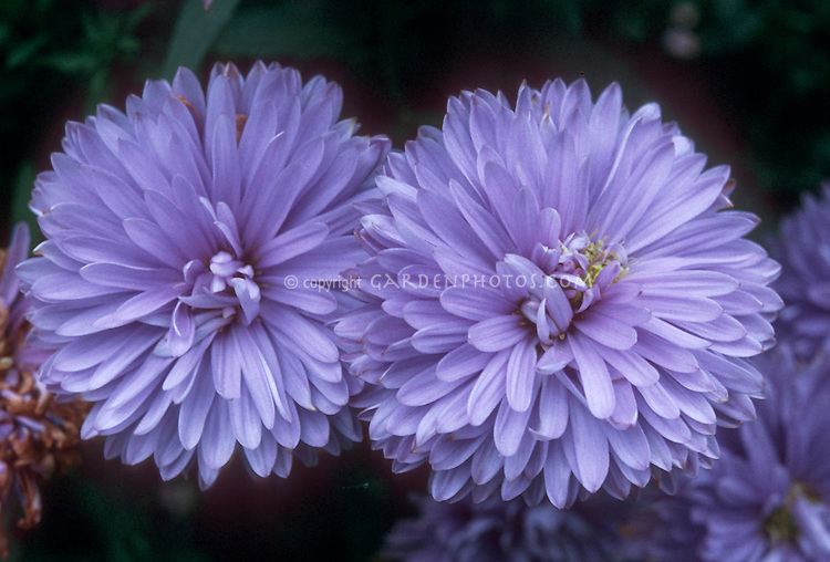 Soft violet blue flowers of Aster Sunhelene