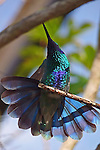 Hummingbird, Green Violet-Ear / Colibri thalassinus