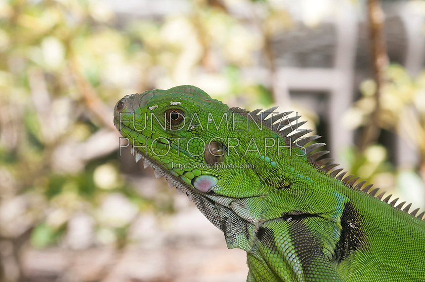 GREEN IGUANA<br />