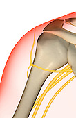 A posterior view of the nerve supply of the shoulder. The surface anatomy of the body is semi-transparent and tinted red. Royalty Free
