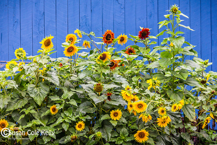 Sunflowers in Stoddard, New Hampshire, USA