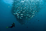 Large schooling bigeye jacks (Caranx sexfasciatus) or trevallies at the edge of the reef with diver.