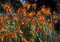 Crocosmia 'Star of the East' orange flowers