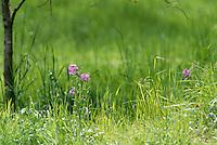 Dames rocket, Hysperis matronalis, light purple flowers bloom in May at the edge of the field