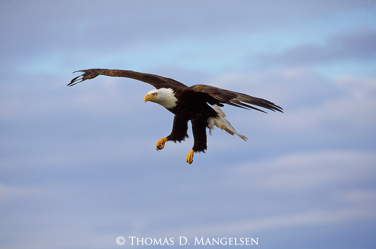 Portrait of a bald eagle in southeast Alaska coming in to land.