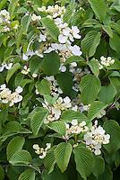 Viburnum plicatum forma tomentosum Shasta in spring flower
