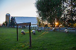 Sequim sheep, sunset