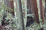 Redwood loop trail