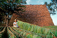 """Cuba, March 1992: Following the harvest , the tobacco is carried on the """"cujes"""" near Vignales in Cuba. It will be stored in the Casa de Tobaco, a a rare traditional tobacco drying house where it will begin to dry and ferment."""