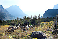 Bighorn Sheep, Glacier National Park, Montana