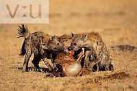 A Spotted Hyaena on Wildebeest kill. ,Crocuta crocuta, Kenya
