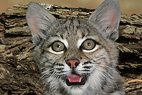 611009004 a portrait of a young bobcat felis rufus that is a wildlife rescue animal