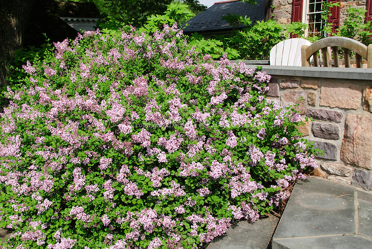 Syringa meyeri Meyer Lilac next to house stone wall, steps, patio