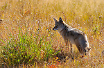 Coyote, Tower Junction, Yellowstone National Park, Wyoming