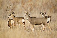 Mule deer (Odocoileus hemionus) bucks with doe in Colorado