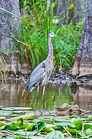 We captured this Blue Heron standing on this log at the Honey Island Swamp in Lousianna out side of New Orleans.