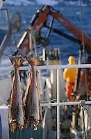 """Europe/Norvège/Iles Lofoten: Peche au Skrei - Cabillaud sur le bateau """"Stottvaring"""" la part de l'equipage séche sur le bateau"""