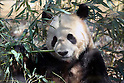 April 1, 2011, Tokyo, Japan - A male giant panda &quot;Ri Ri&quot; eats bamboo at Ueno Zoo in Tokyo on Friday, April 1, 2011, on the first day its appearance with a fellow female panda &quot;Shin Shin&quot;, not seen, to the public. Thousands of visitors flocked to catch a first glimpse of a pair of pandas on loan from China, in a welcome respite from the gloom over last month's massive earthquake and tsunami in northern Japan. (Photo by Daiju Kitamura/AFLO) [1045] -ty-.