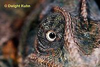 CH51-711z Female Veiled Chameleon, note eye rotation, Chamaeleo calyptratus