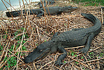 American Alligator, Alligator mississippiensis,adults resting on edge of bank, long tail, Everglades National Park, predator.USA....