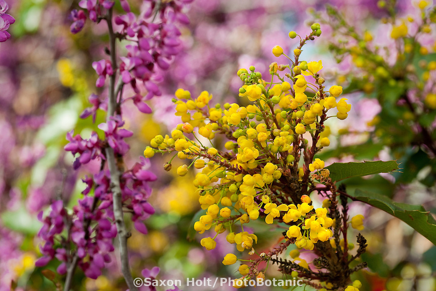 Berberis 'Golden Abundance' (Golden Abundance Oregon Grape), aka Mahonia, yellow flower California native shrub