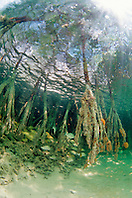 Red mangrove roots, Rhizophora mangle, .with a variety of juvenile reef fish, .Sands Cut, Biscayne National Park, .Florida (Atlantic).