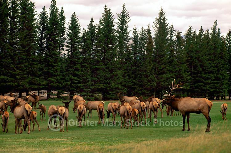 Banff National Park, Canadian Rockies, AB, Alberta, Canada - Bull Elk, Wapiti (Cervus canadensis) rounding up Harem on Banff Springs Golf Course