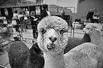4-27-13-Alpaca Festival