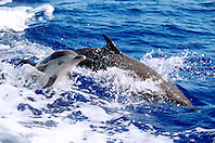pantropical spotted dolphin, mother and calf, .Stenella attenuata, wake-riding, .Big Island, Hawaii (Pacific)