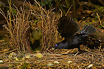 Satin Bowerbird (Ptilonorhynchus violaceus minor) male displays to a female who has entered his bower.  He holds a cicada case in his bill...This bower is decorated with all natural objects..Rain forest of the Atherton Tablelands..Queensland, Australia