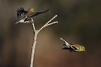 Taking off and landing, this scene reminded my of an airport terminal. American Goldfinch in January 2014.