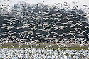 WA08146-00...WASHINGTON - A large flock of snow geese in a farm field being joined by a second group on Fir Island in the Skagit River Delta.