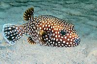 Smooth Pufferfish