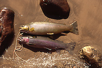 Photo of Two freshly Caught Trout Laying on the Beach at the Mouth of Nankoweap Canyon within the Grand Canyon of Arizona. Film Scan.