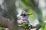 Costa's hummingbird in nest