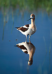 American avocet, Crab Creek, Columbia Plateau, Washington, USA