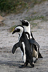 Africa, South Africa, Simons Town, Boulders Beach. African Penguin couple at Boulders Beach near Simons Town on False Bay.