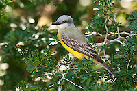 Couch's Kingbird on Texas Ebony