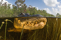 An American Alligator, Alligator mississippiensis, lurks in shallow water. Everglades National Park, Florida, USA