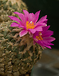 Magenta flowers blooming on the cactus at the Chihuahuan nature center in Texas